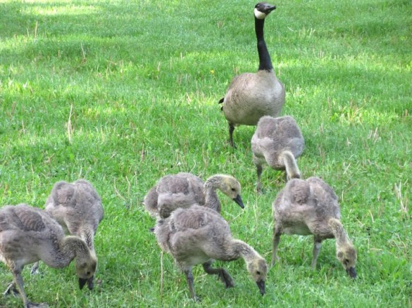MEDIUM OLD GOSLINGS
