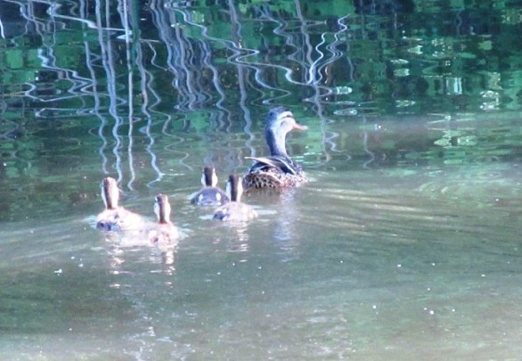 MOM AND DUCKLINGS1.jpg