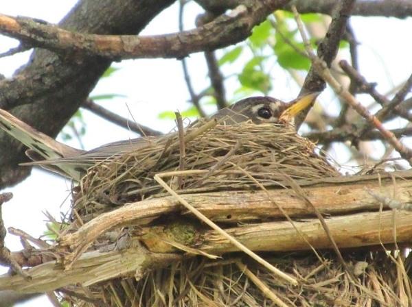 nest robin