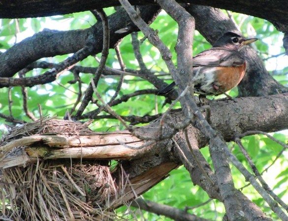 ROBIN AND NEARBY NEST