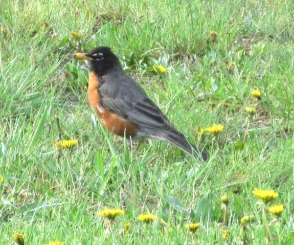 robin big in dandelions.jpg