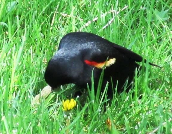 rw blackbird1