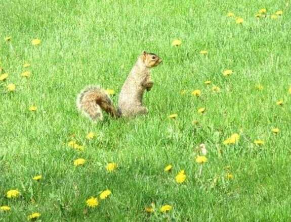 squirrel in dandelions.jpg