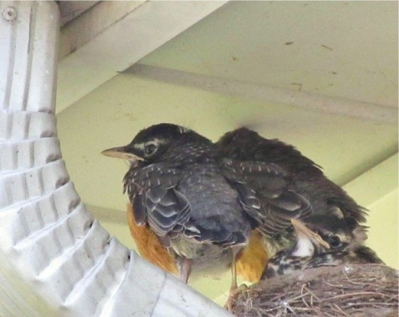 TWO AND A HALF ROBINS FINAL
