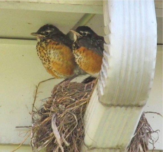 TWO ROBINS FINAL