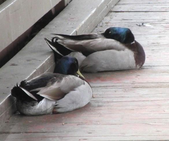 two sleepy ducks on the bridge wooden walkway.jpg