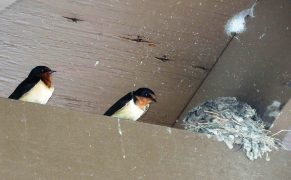 two swallows and nest.jpg