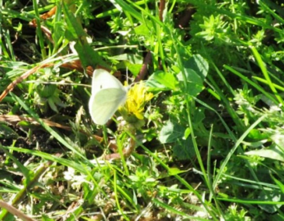 CABBAGE WHITE BUT