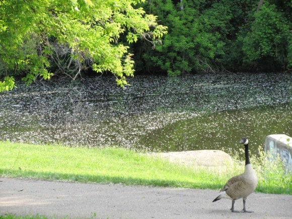 goose and cotton in the water