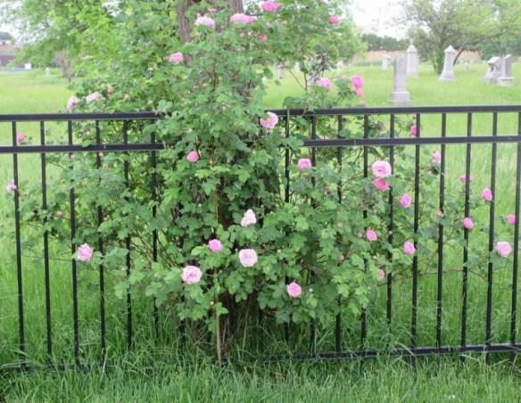 roses at tree.jpg