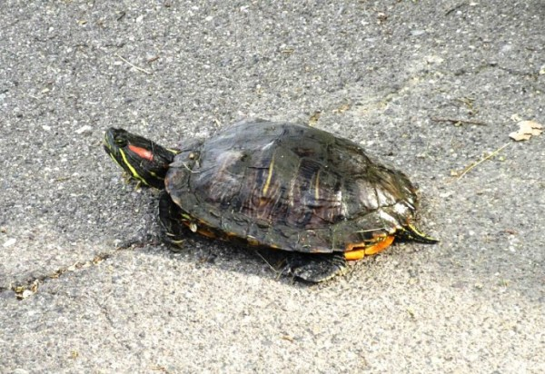 SMALL TURTLE1