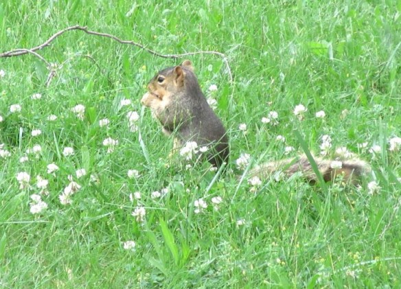 SQUIRREL IN CLOVER.jpg