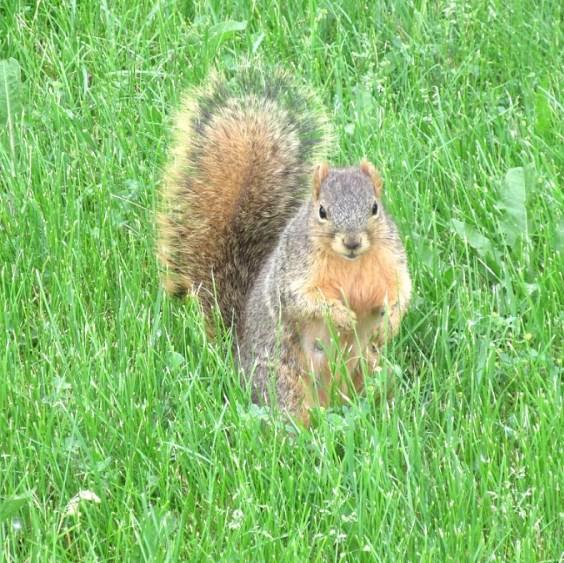 SQUIRREL IN GRASS.jpg