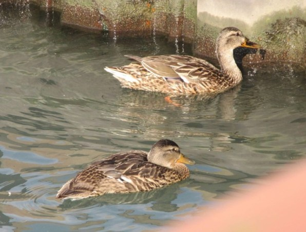 2 DUCKLINGS AT WALL