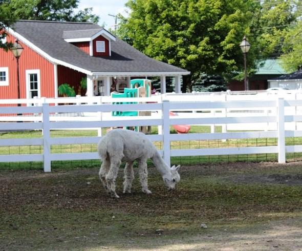 alpaca rudy or perry.jpg