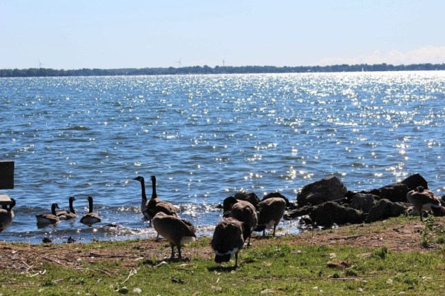 GEESE LOOKING AT CANADA