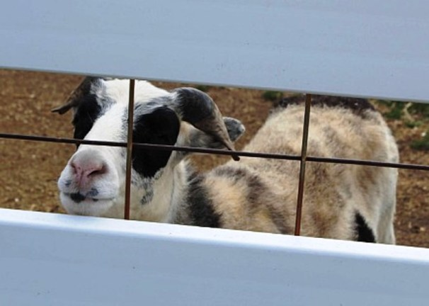 goat maybe