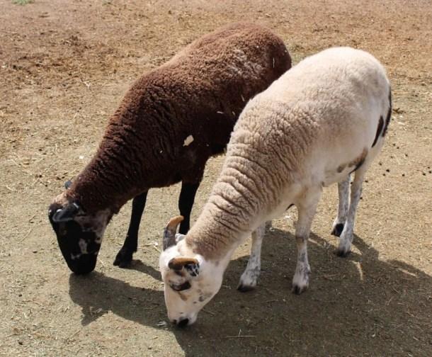 goats - synchronized eating