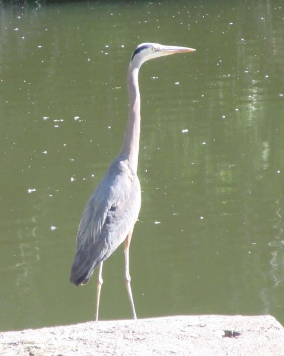 HERON ON CEMENT LANDING