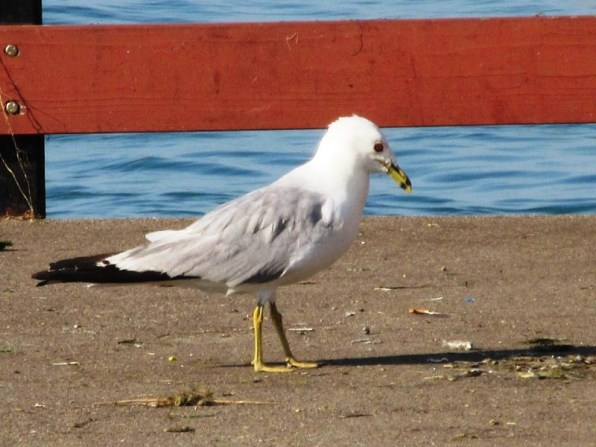 SEAGULL WITH FOOD