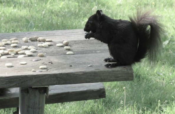 SQUIRREL ON RIGHT SIDE OF TABLE