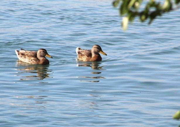2 ducks