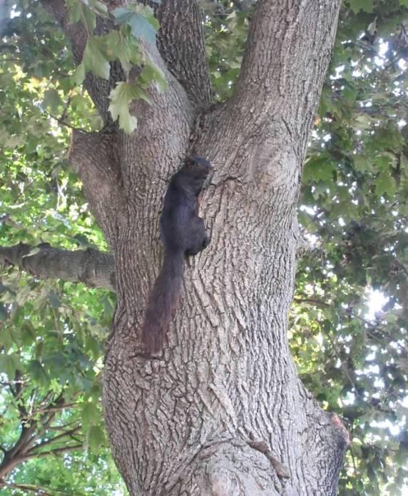 BLACK SQUIRREL IN LUMPY LOOKING TREE