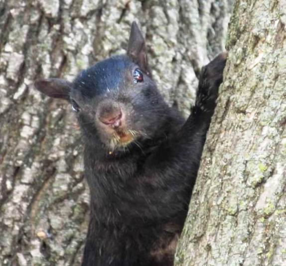 BLACK SQUIRREL UP CLOSE
