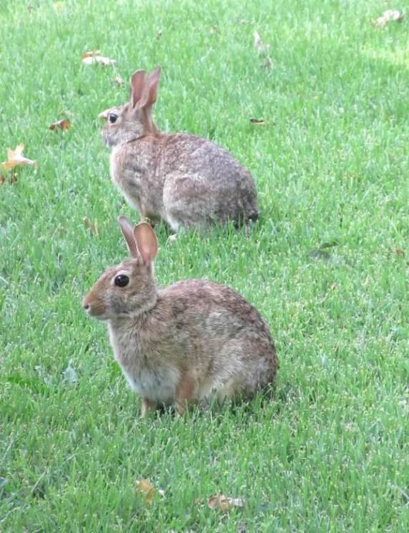BUNNIES TWO