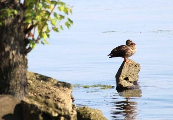duck on perch1.jpg