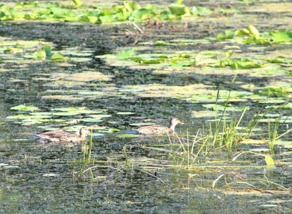 ducks blend in