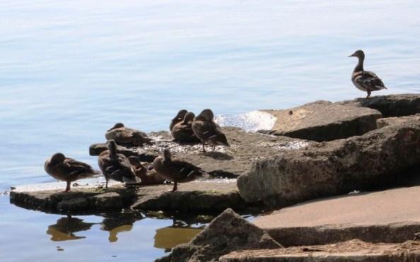 ducks maybe.jpg