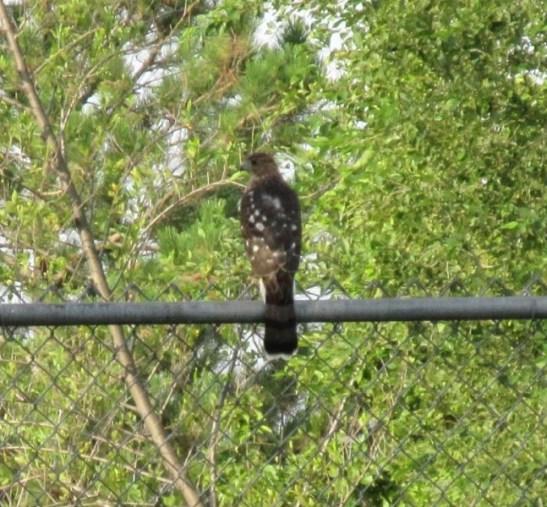 Hawk 08-08-18