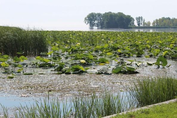 lilypads and algae.jpg