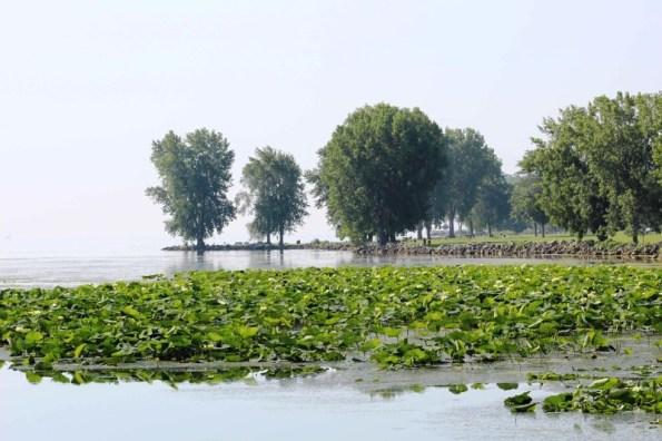 lotuses from bridge