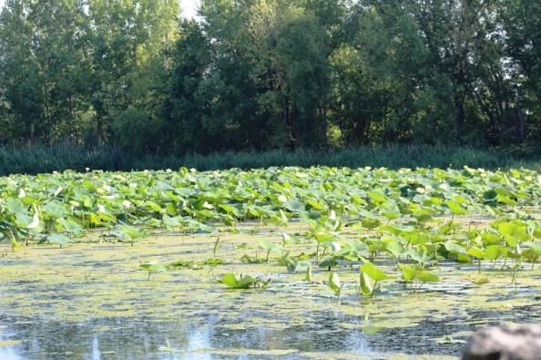lotuses really close.jpg