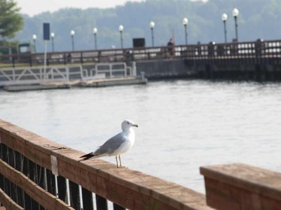 seagull 2 feet