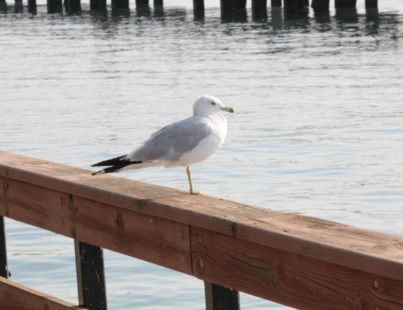 seagull pretending he is a stork.jpg