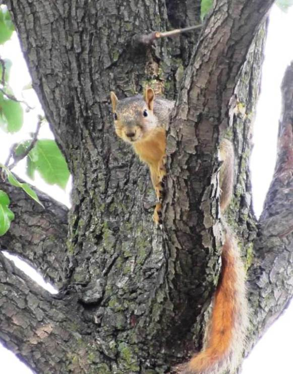 Squirrel High Up in Tree1.jpg