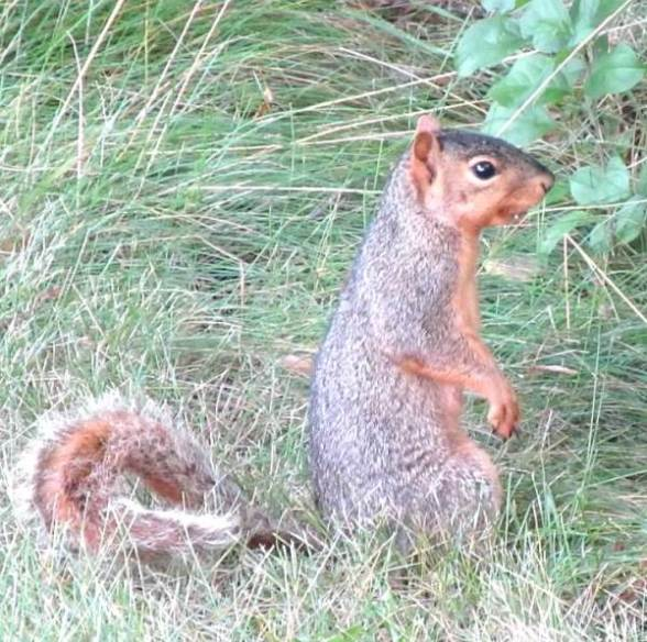 Squirrel on Haunches.jpg