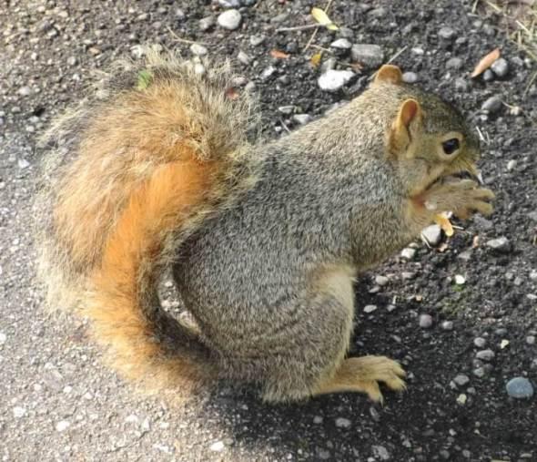 Squirrel Sitting on Path1.jpg