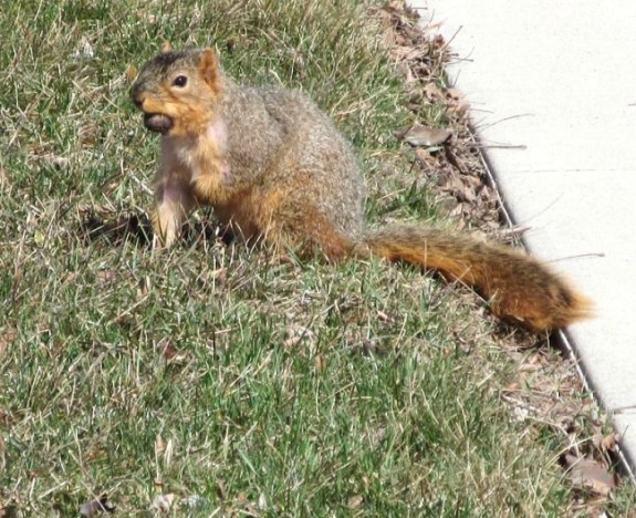 SQUIRREL SITTING WITH WALNUT.jpg