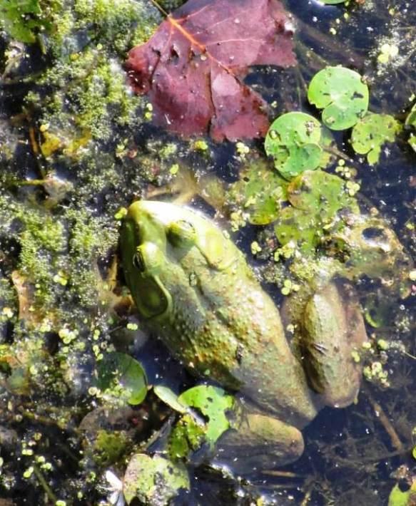 big frog large.jpg