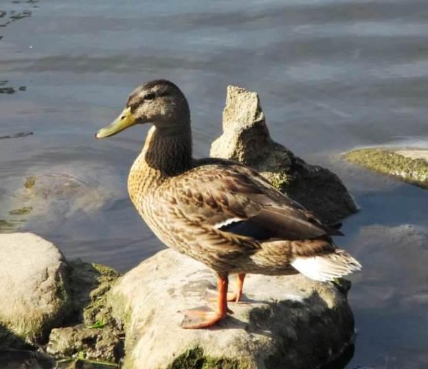 duck on rock