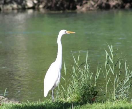 egret still.jpg