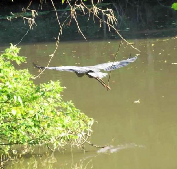 heron flying2