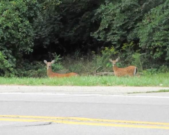 pair of deer.jpg