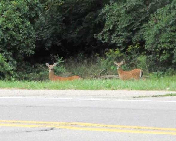 pair of deer.jpg