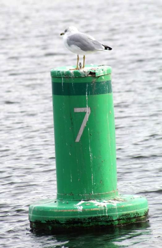 seagull on buoy1