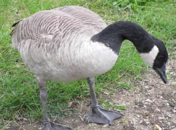 goose who started it